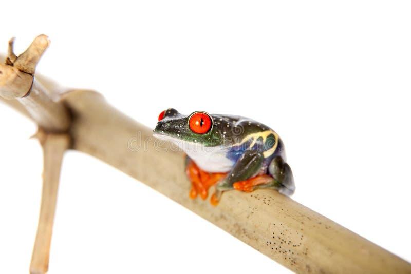 Le rouge a observé la grenouille d'arbre la nuit sur le fond blanc image stock