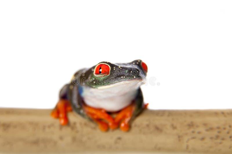 Le rouge a observé la grenouille d'arbre la nuit sur le fond blanc images libres de droits