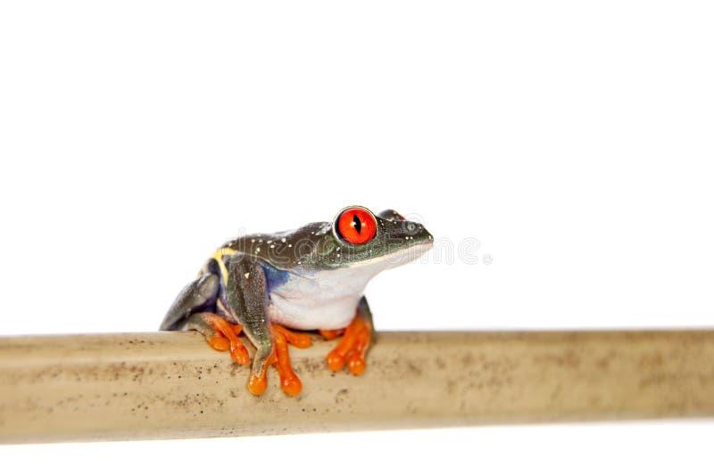 Le rouge a observé la grenouille d'arbre la nuit sur le fond blanc photo stock