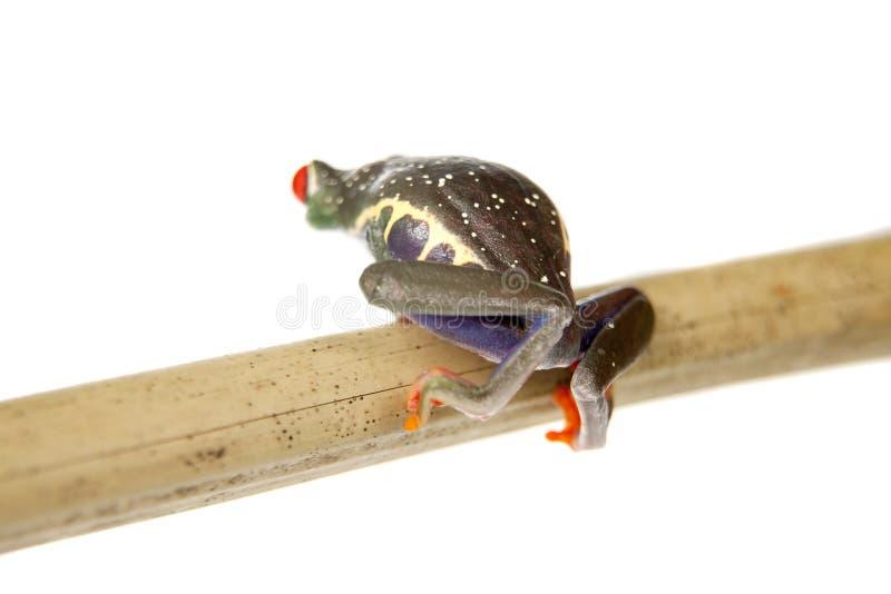 Le rouge a observé la grenouille d'arbre la nuit sur le fond blanc photos libres de droits