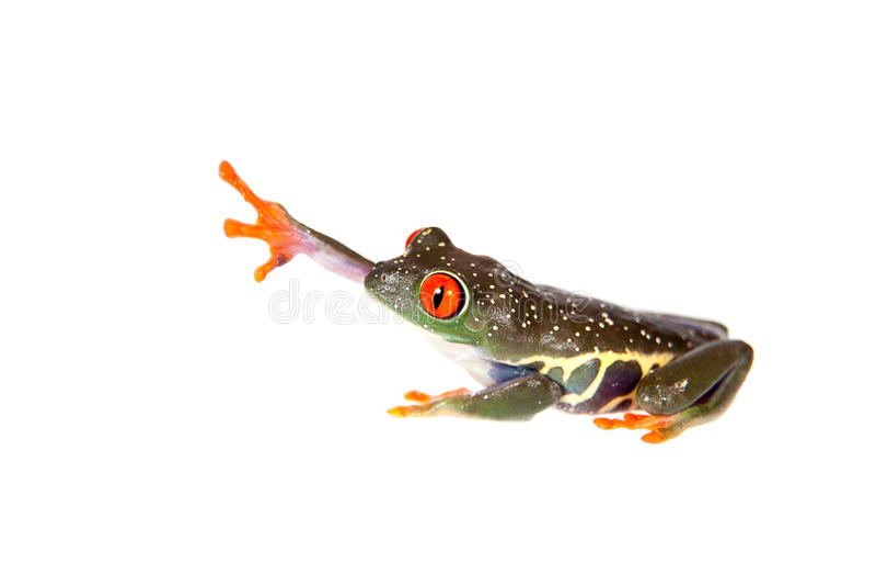 Le rouge a observé la grenouille d'arbre la nuit sur le fond blanc images stock