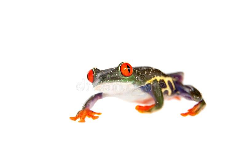Le rouge a observé la grenouille d'arbre la nuit sur le fond blanc image libre de droits