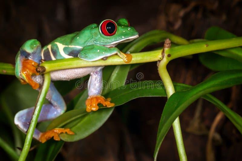 Le rouge a observé la grenouille d'arbre rêvant du cricket image libre de droits