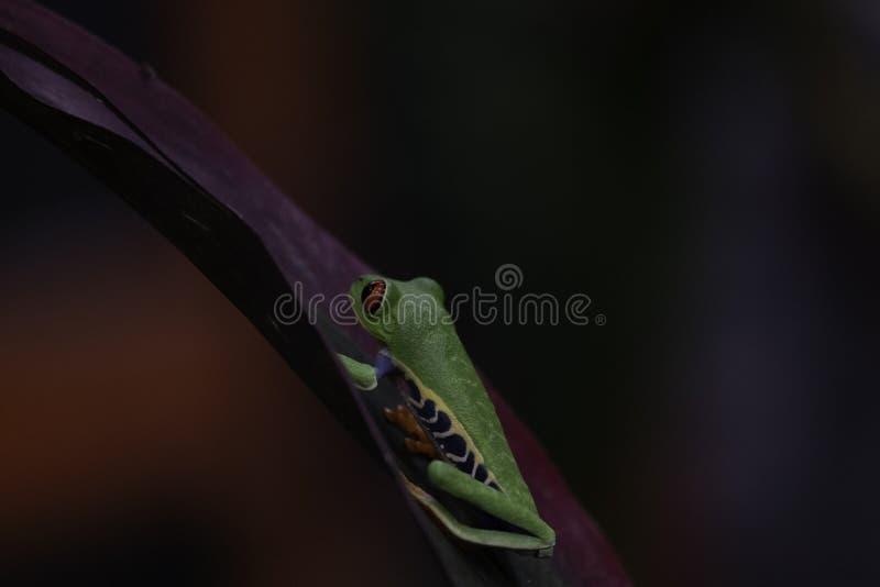 Le rouge a observé la grenouille d'arbre se reposant sur un congé photo libre de droits