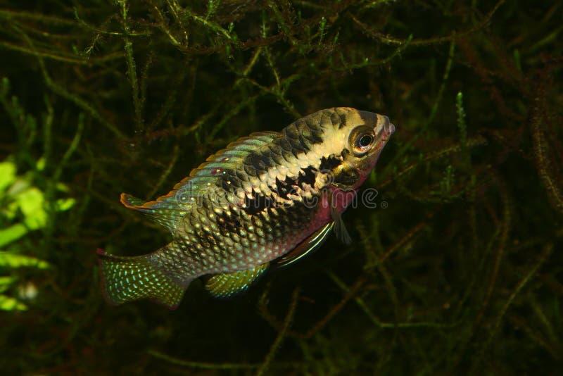 Le rouge pointille le cichlid (le dorsigera de Laetacara) image libre de droits
