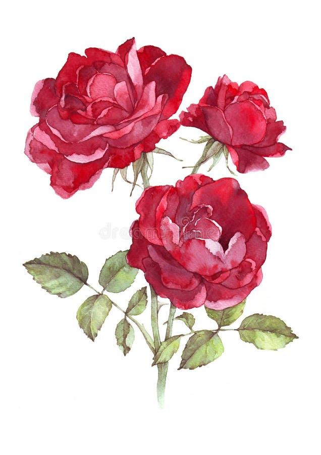 Le rouge sauvage a monté Illustration d'aquarelle image libre de droits