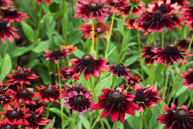 Le Rudbeckia fleurit (le hirta de Rudbeckia) photo libre de droits