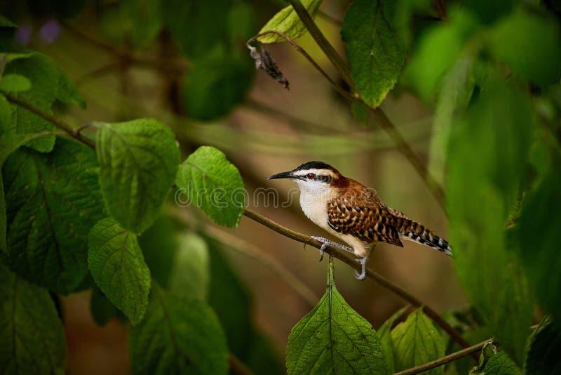 Le rufinucha rufous-naped de Campylorhynchus de roitelet se repose sur une branche photos libres de droits