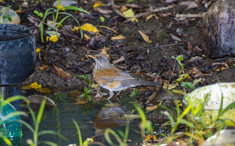 Le rufopalliatus Rufous soutenu par endémique de Robin Turdus prend Bath dans un petit trou d'eau au Mexique photographie stock
