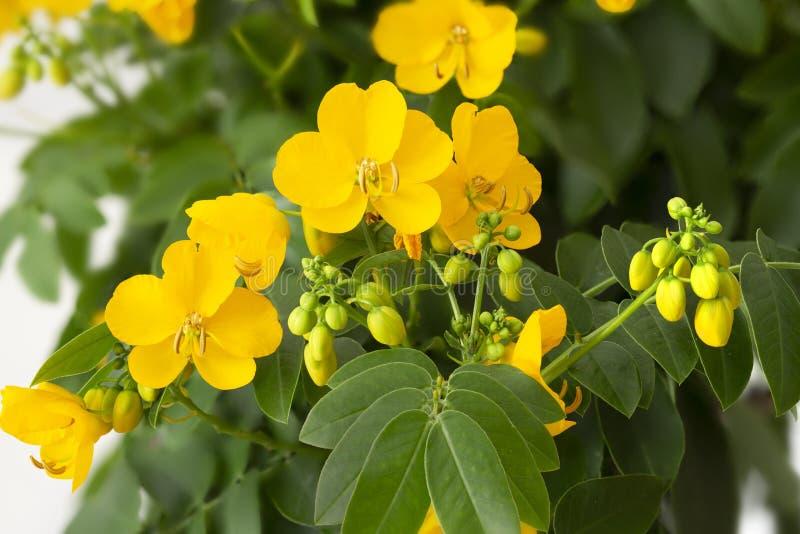 Le séné Cassia Corymbosa fleurit le plan rapproché photo libre de droits