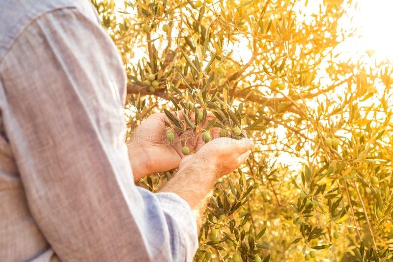 Le ` s d'agriculteur remet des olives de contrôle sur l'olivier - agriculture image stock