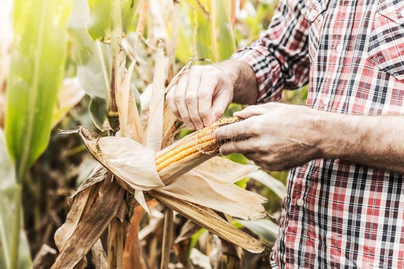Le ` s d'agriculteur remet l'épi de maïs de contrôle sur le champ de maïs photos libres de droits