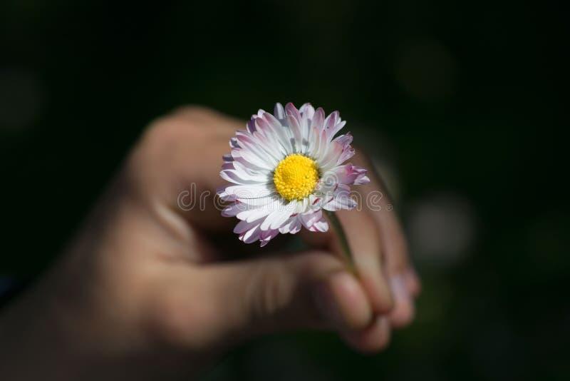 Le ` s d'enfant remet bercer une fleur fraîche de marguerite photo stock