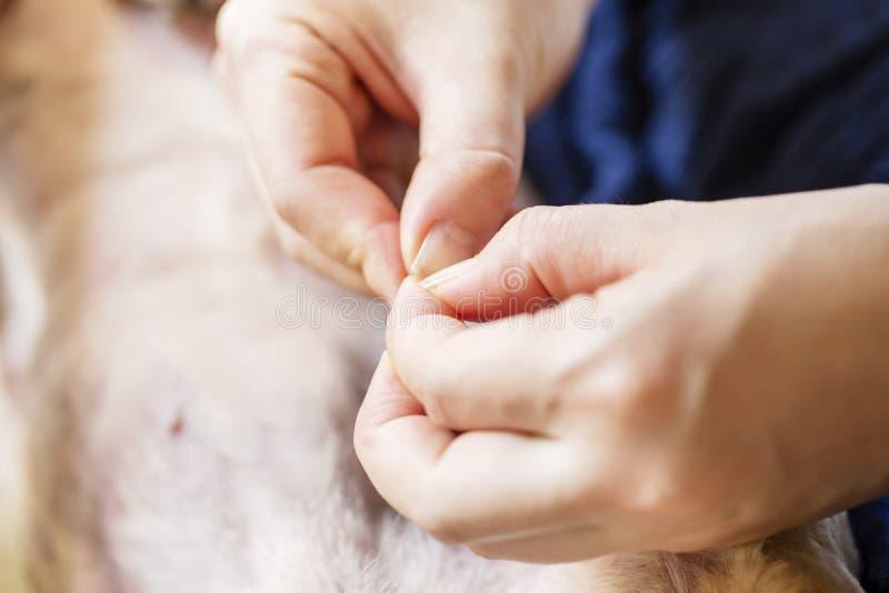 Le ` s de femme cueillent à la main d'un certain coutil sur la fourrure de chien closeup photo libre de droits