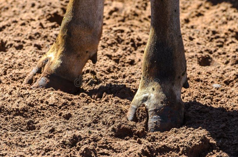 Le sabot d'un brun effraye la patte sur un au sol de saleté photo stock