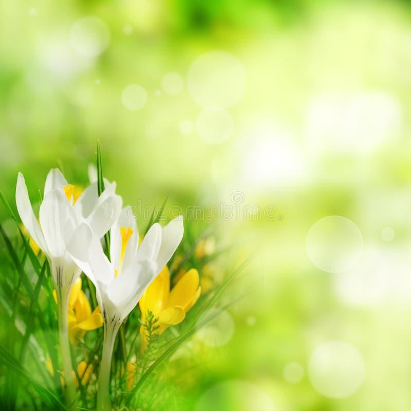 Le safran fleurit au printemps photographie stock