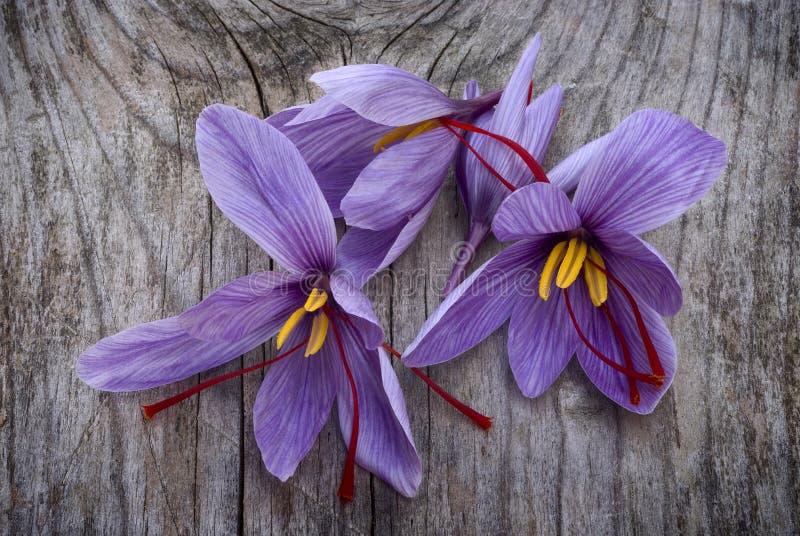 Le safran fleurit (le crocus sativus) photo libre de droits