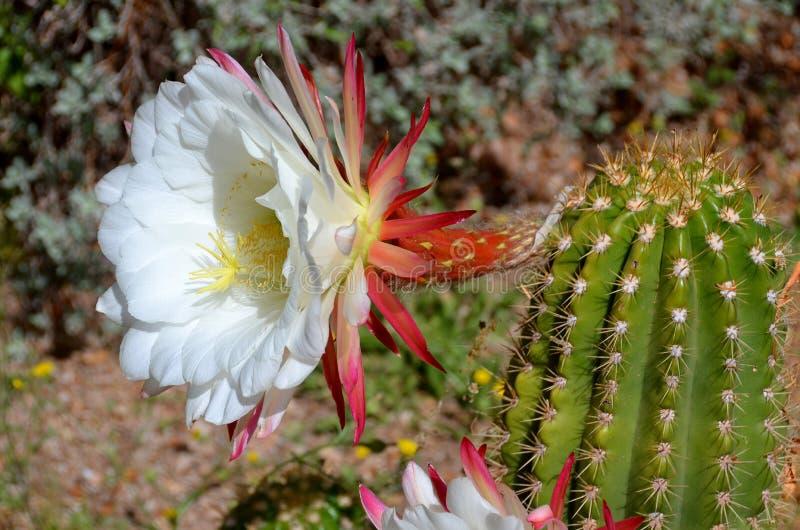 Le saguaro photographie stock libre de droits