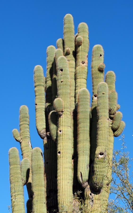Le Saguaro Methuselah de l'Arizona le plus ancien image libre de droits