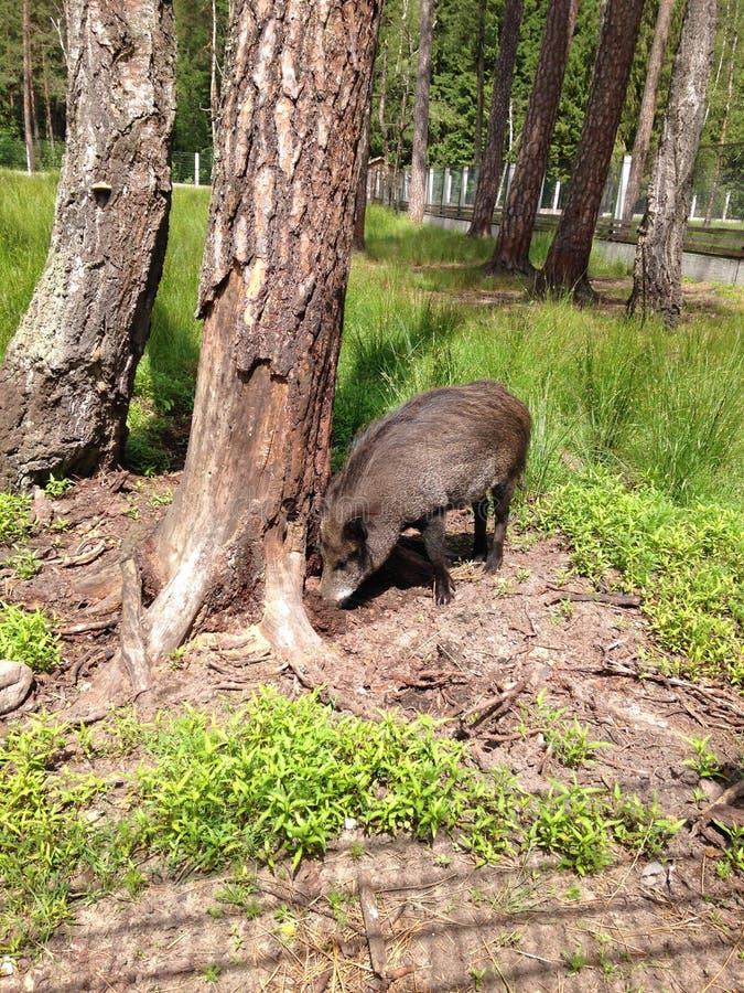 Le sanglier creuse la terre près de l'arbre à la recherche de la nourriture image libre de droits