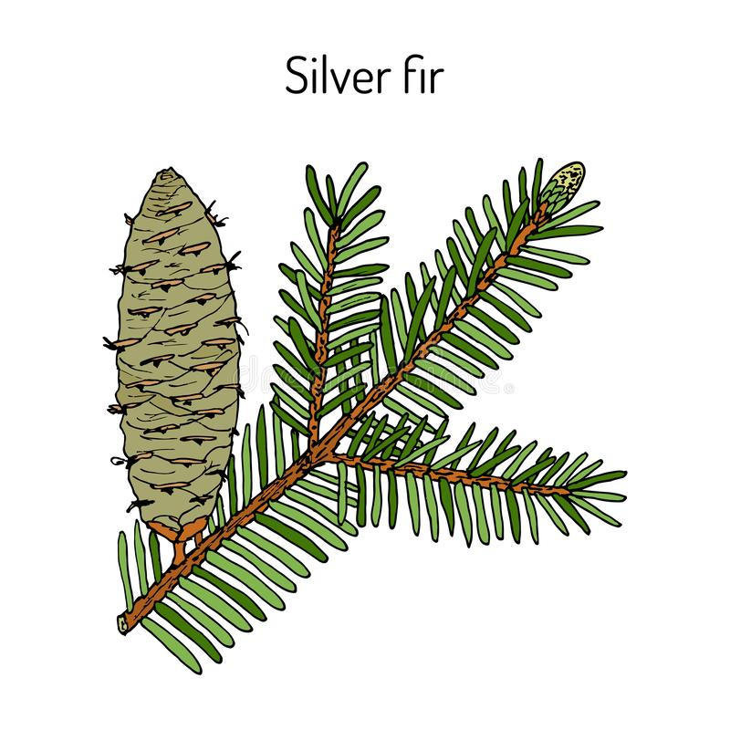 Le sapin argenté européen abies la plante alba et médicinale illustration stock