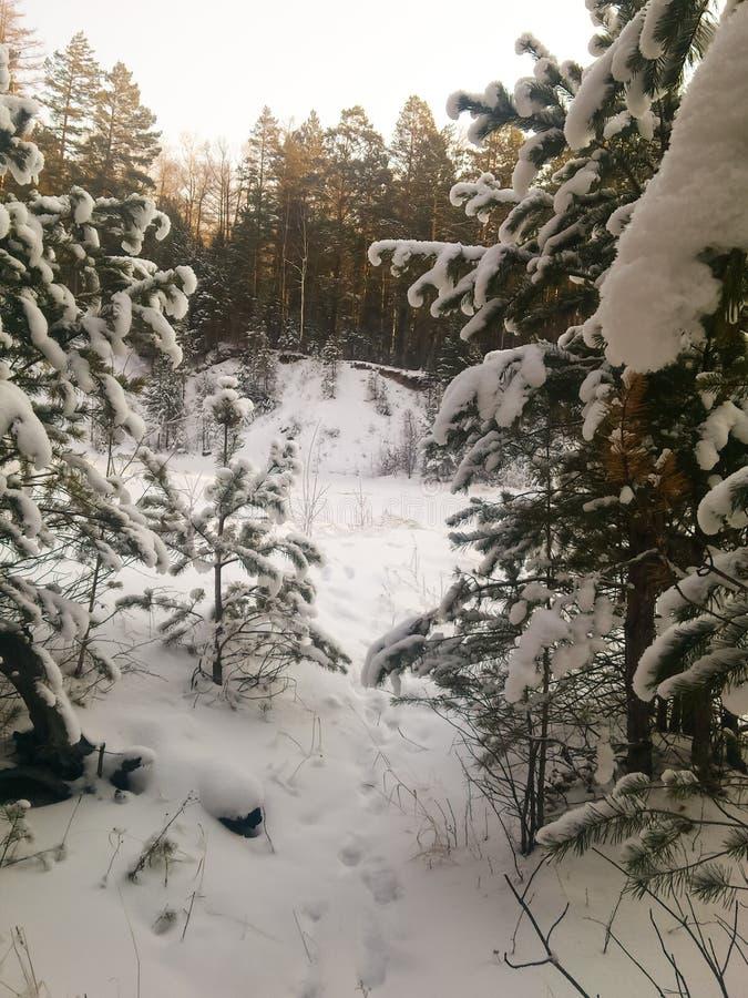 Le sapin couvert de neige photo libre de droits