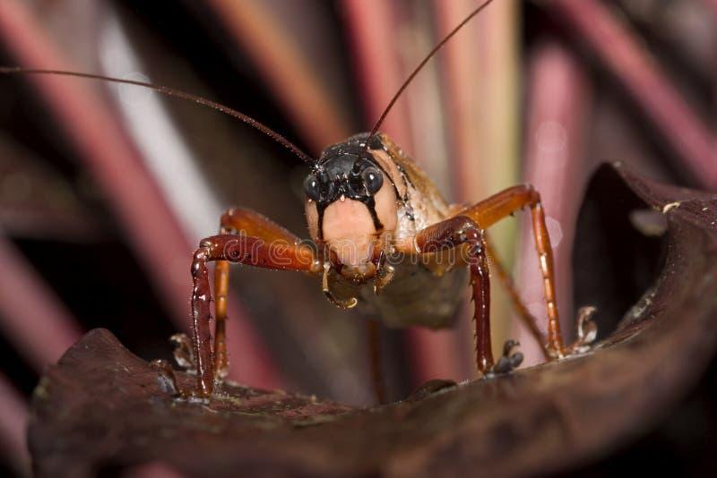 Le Sauterelle-Equateur rouge image stock