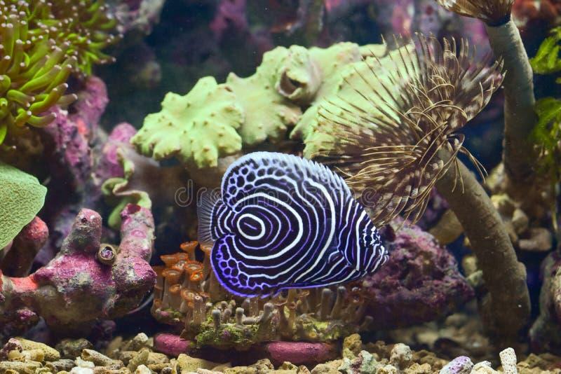 Le scalaire d'empereur est des espèces de scalaire de mer Ce sont des poissons liés aux récifs image libre de droits