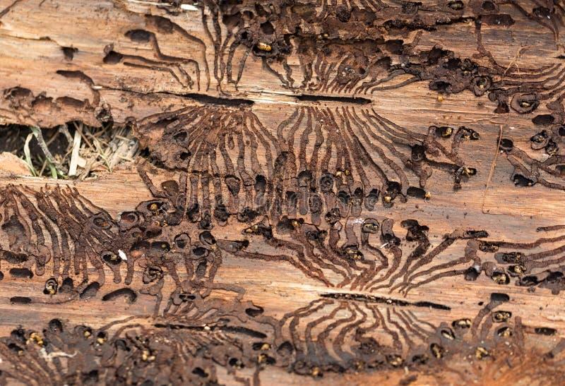 Le scarabée d'écorce impeccable européen photos libres de droits