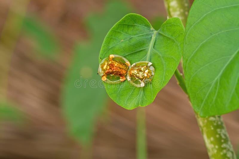 Le scarabée d'or de tortue hybrident sur la feuille verte à la scène de nuit images libres de droits
