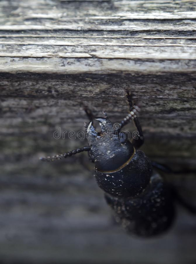 Le scarabée de Capricorne sur la surface en bois Danger grave au bois Vue verticale photographie stock