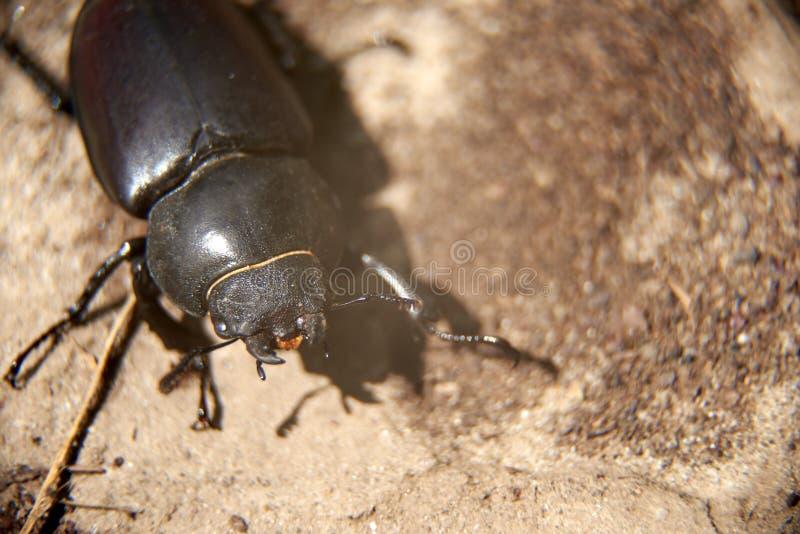 Le scarabée de mâle femelle rampe au sol dans son environnement naturel photos stock