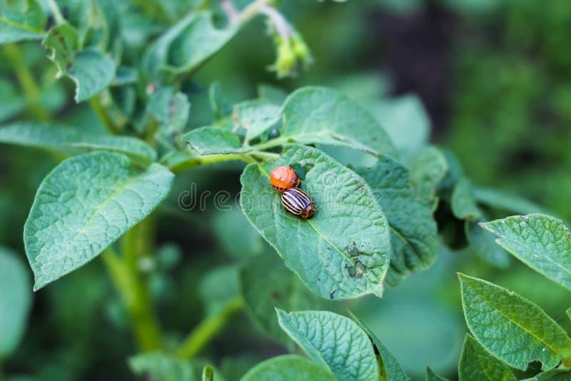 Le scarabée de pomme de terre du Colorado d'adulte et sa larve se repose sur les feuilles d'une pomme de terre images stock