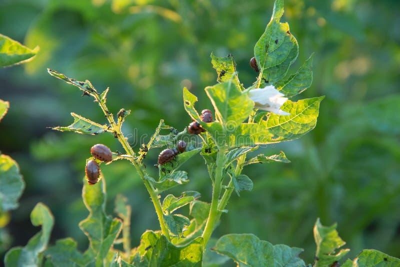 Le scarabée de pomme de terre du Colorado mange une feuille des pommes de terre au milieu d'un gisement de pomme de terre images stock