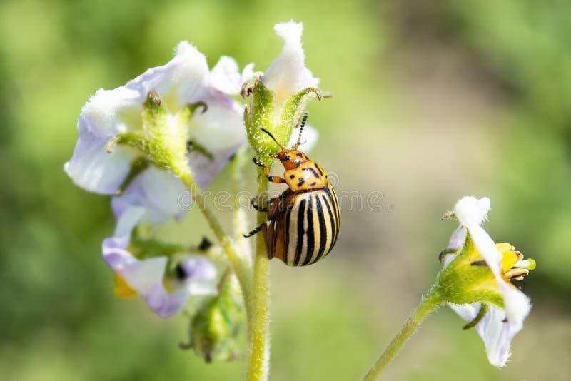 Le scarabée de pomme de terre du Colorado mange une fleur d'évasion de pomme de terre closeup photographie stock