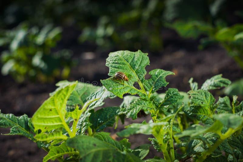 Le scarabée de pomme de terre monte une feuille d'un buisson assez mordu photos libres de droits