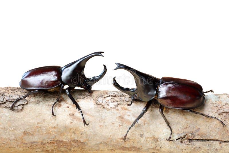 Le scarabée de rhinocéros combattant sur en bois sont isolés sur le blanc photographie stock libre de droits