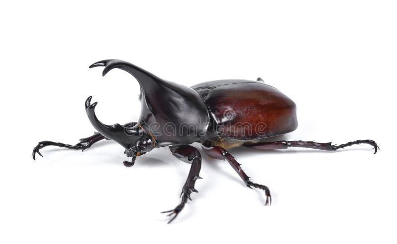 Le scarabée de rhinocéros masculin, scarabée de Hercule, scarabée de licorne, klaxon soit images libres de droits