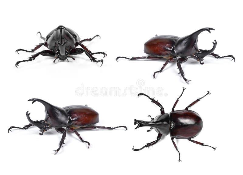 Le scarabée de rhinocéros masculin, scarabée de Hercule, scarabée de licorne, klaxon soit photos libres de droits