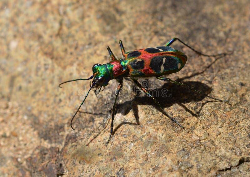 Le scarabée de tigre chinois photo libre de droits