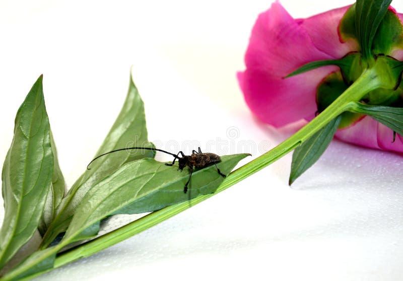 Le scarabée se repose sur le méson pi image libre de droits