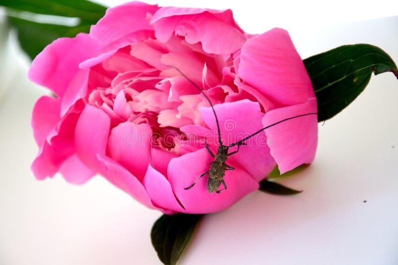 Le scarabée se repose sur le méson pi images libres de droits