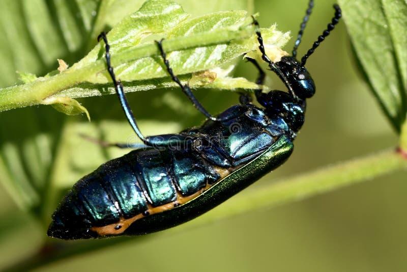 le scarab?e vert mange la feuille photographie stock libre de droits