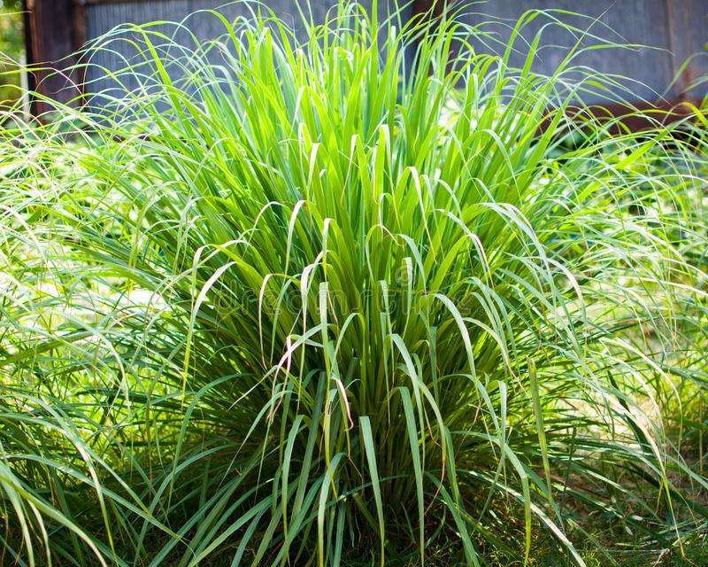 Le sch?nanthe ou le Lapine ou ? l'ouest Indien ont ?t? plant?s au sol C'est un arbuste, ses feuilles sont long et mince vert photographie stock
