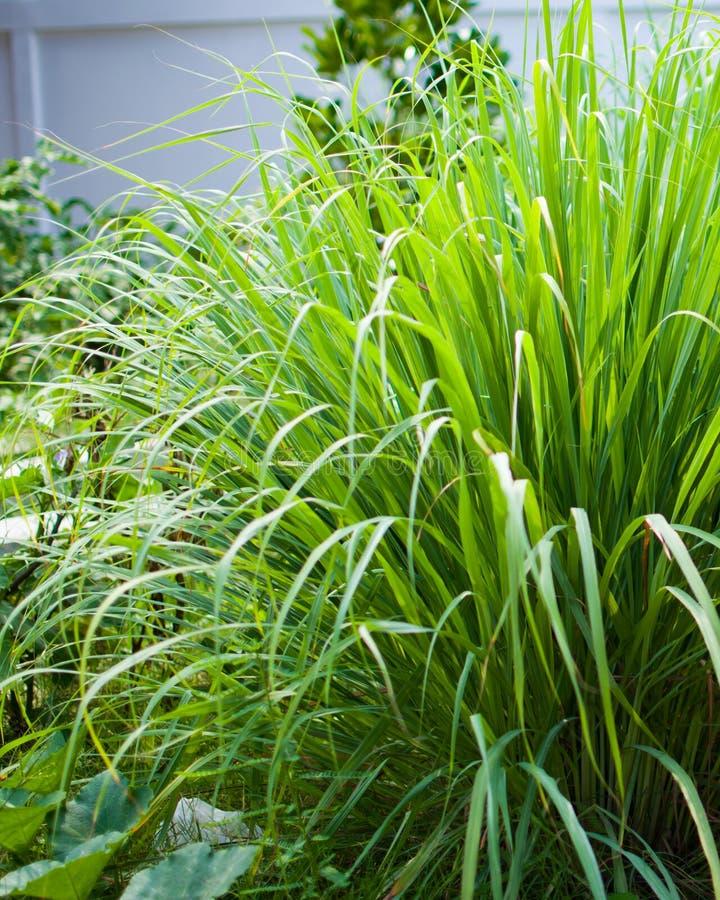 Le sch?nanthe ou le Lapine ou ? l'ouest Indien ont ?t? plant?s au sol C'est un arbuste, ses feuilles sont long et mince vert photographie stock libre de droits
