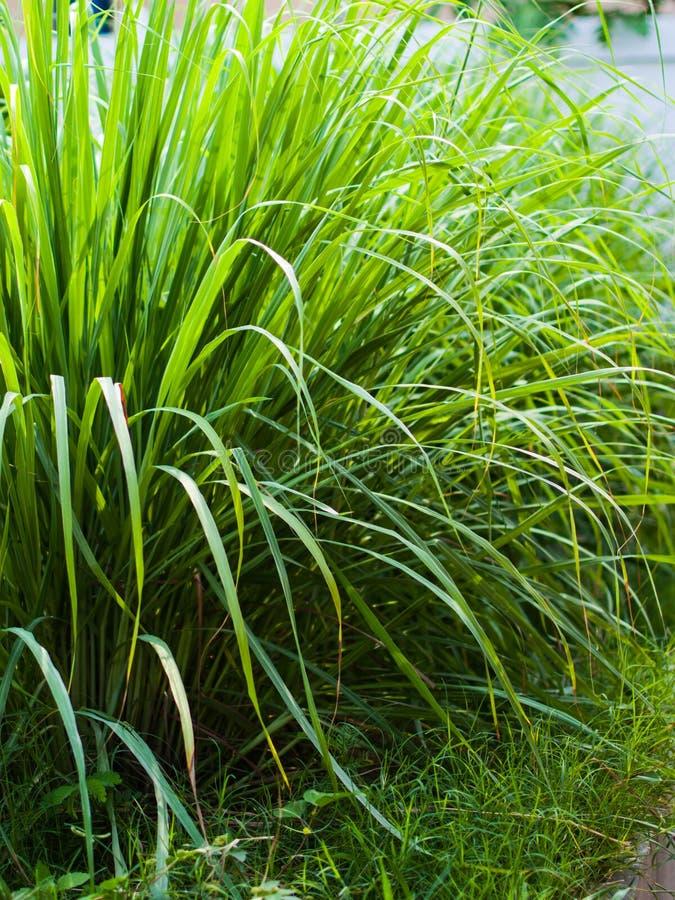 Le sch?nanthe ou le Lapine ou ? l'ouest Indien ont ?t? plant?s au sol C'est un arbuste, ses feuilles sont long et mince vert image stock