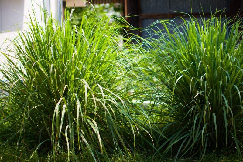 Le sch?nanthe ou le Lapine ou ? l'ouest Indien ont ?t? plant?s au sol C'est un arbuste, ses feuilles sont long et mince vert image libre de droits