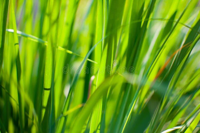 Le sch?nanthe ou le Lapine ou ? l'ouest Indien ont ?t? plant?s au sol C'est un arbuste, ses feuilles sont long et mince vert photos stock
