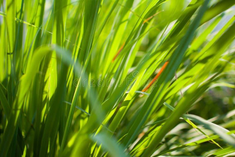 Le sch?nanthe ou le Lapine ou ? l'ouest Indien ont ?t? plant?s au sol C'est un arbuste, ses feuilles sont long et mince vert photo libre de droits