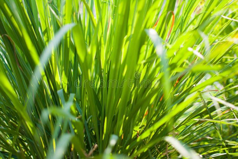 Le sch?nanthe ou le Lapine ou ? l'ouest Indien ont ?t? plant?s au sol C'est un arbuste, ses feuilles sont long et mince vert images libres de droits